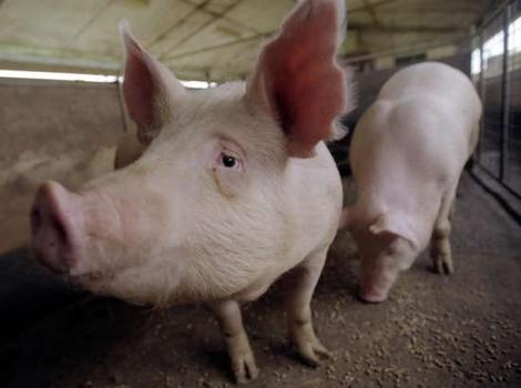 Pig ignorant
